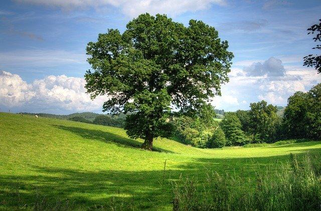 Oak Tree in Green Field