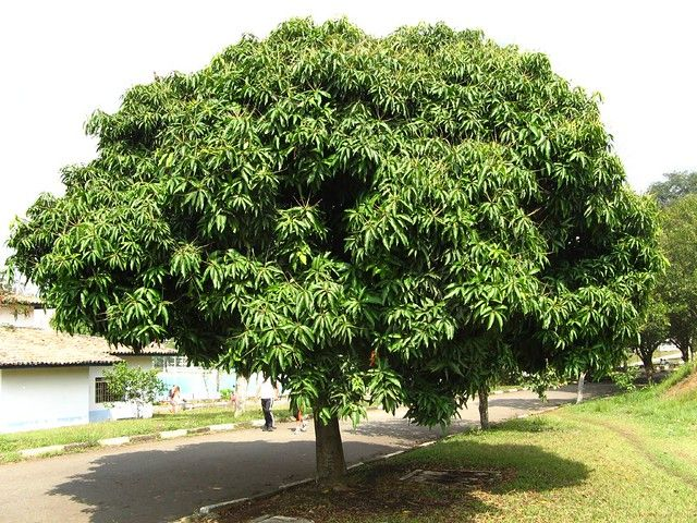 Mango Tree Grain and Frame
